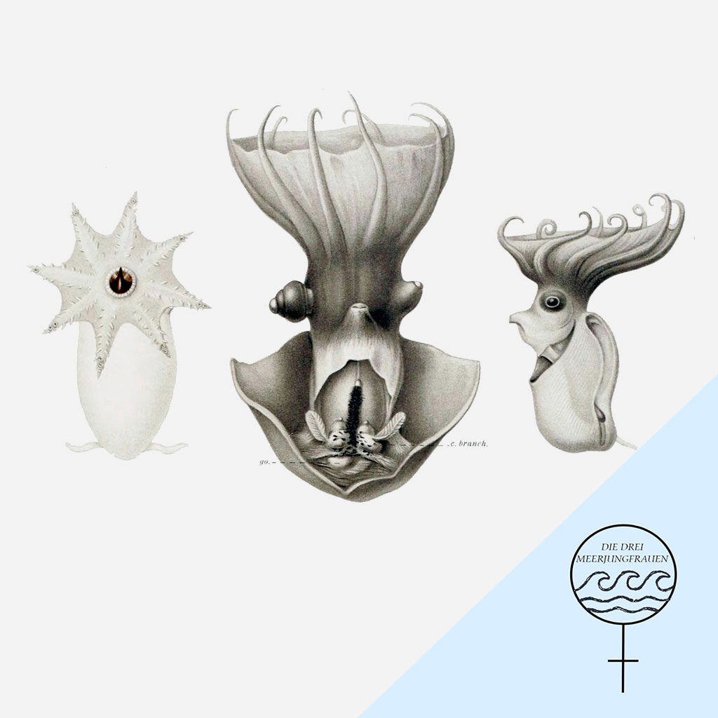 Drei Zeichnungen eines Vampirtintenfischs