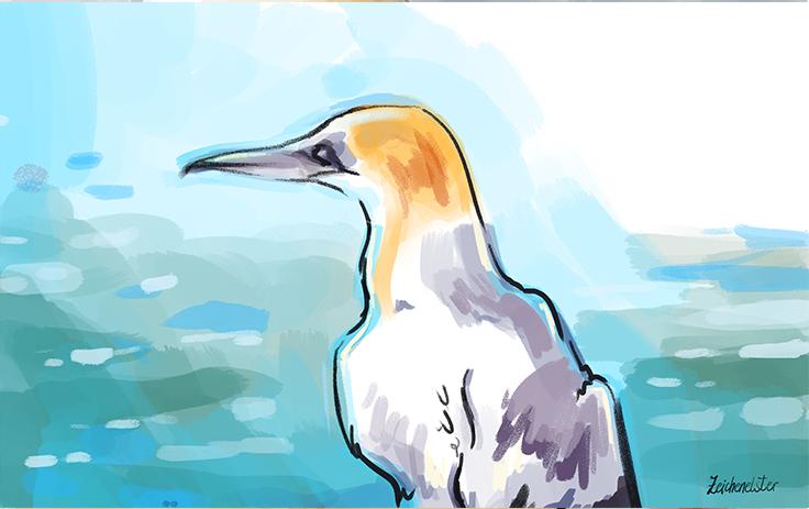 Eine Zeichnung der Vogelart Tölpel. Bei der Illustration handelt es sich um eine digitale Malerei. Unten rechts steht Zeichenelster als Unterschrift.